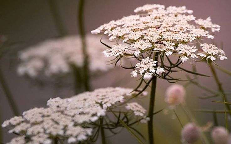 Three utterly ace umbellifers