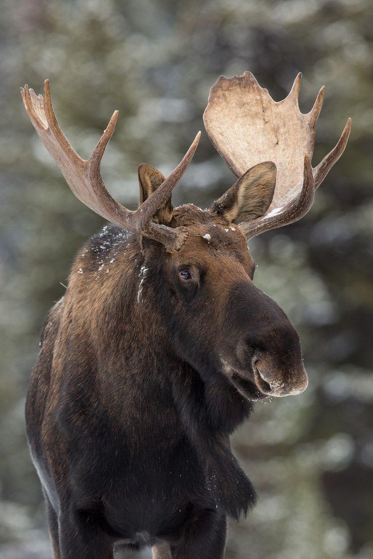 Canadian Moose                                                                                                                                                                                 More