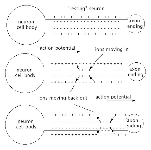10 best the nervous system images on pinterest nervous system the neuron this diagram shows how action potential works and the movement of ions in and out of a neuron it also describes how positive and negative ions ccuart Choice Image