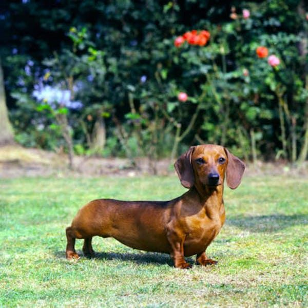 Pin By Denisse Di Carlo On Perritos Tiernos Cute Dogs Dachshund