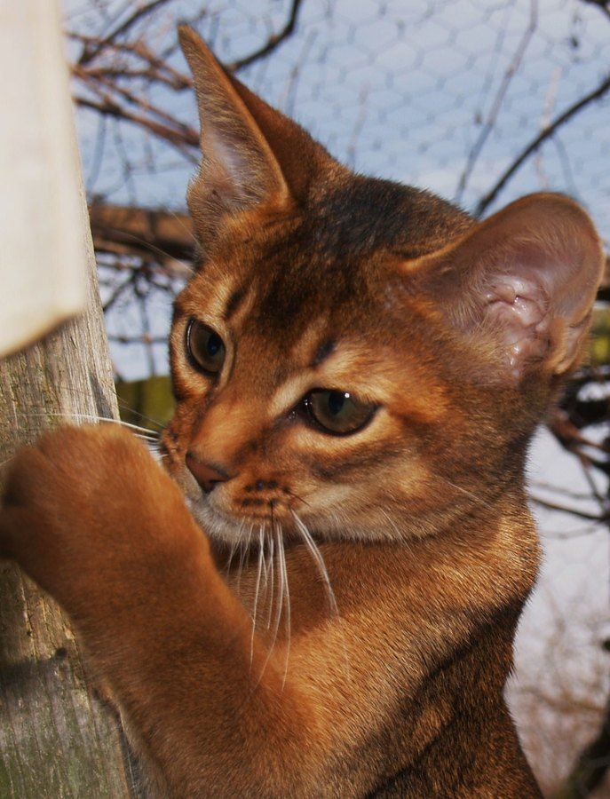 """Click visit site and Check out Best """" Abyssinian """" Cat Shirts. This website is superb. Tip: You can search """"your last name"""" or """"your favorite shirts"""" at search bar on the top. #Abyssinian #Cat"""