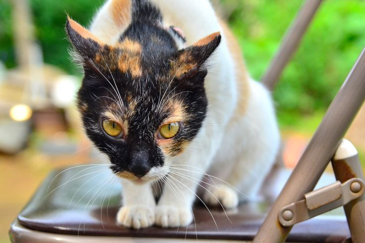 Tortoise Shell Cat Facts | View high resolution | Here ...