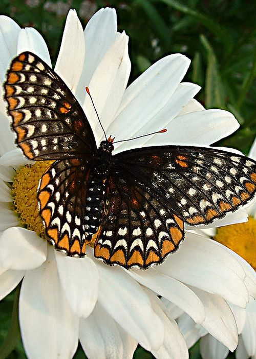 This is a Baltimore Checkerspot Butterfly. Very patternish! If that's a word... If it ain't... It is one now!!! XD