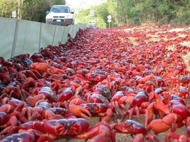 Los Cangrejos Rojos De La Isla De Navidad  Hay más de 120 millones de cangrejos en la isla. Durante finales de otoño / principios de invierno, este ataque masivo de criaturas, abre camino colectivamente hacia el océano para aparearse.