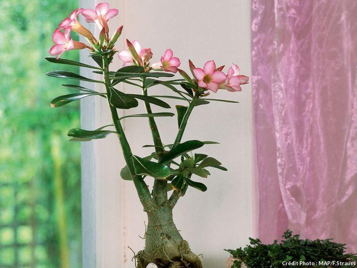 17 meilleures id es propos de rose du d sert sur pinterest pots succulentes jardin hippie. Black Bedroom Furniture Sets. Home Design Ideas