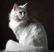 The Norwegian Forest Cat Cat Breed:  Natural athletes, Norwegian Forest Cats love to investigate counters, bookcases, and the loftiest peaks of their cat trees. Wegies ...
