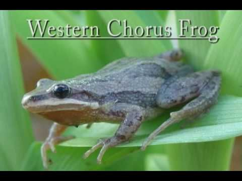 Herping With Dylan: Frog Calls - YouTube