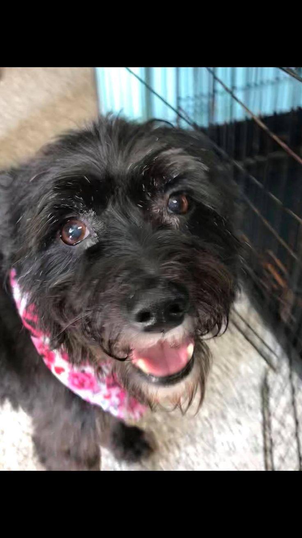 Adopt sahara on petfinder westies schnauzer dogs sahara