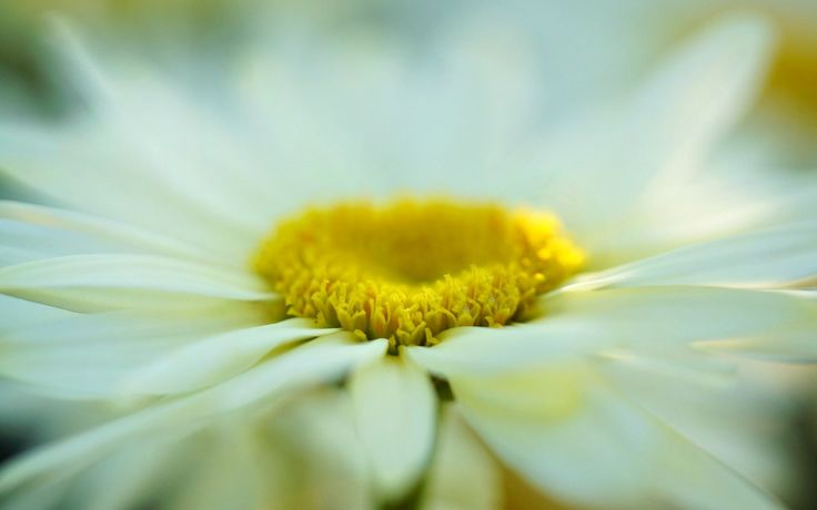 macro flower daisy bokeh
