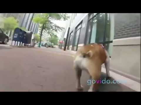 Best Funny Animal Videos ::: Dog ::: Watch out, doggy on board! ::: Visit us on www.govido.com to find THE FUNNIEST ANIMAL VIDEOS 2014 Funny Videos, Funny video 2014: cat, cats, dog, dogs, funny dogs, sweet dogs, animal, cute, pets, funny animals, puppies, PLUS: monkey, frog, kangaroo, buffalo, deer, bear, fish, ... and more! Hilarious short videos to make you laugh! :::