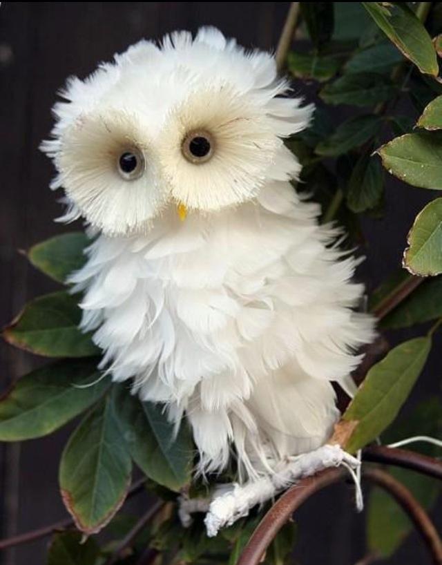 Cute baby white owl - photo#3
