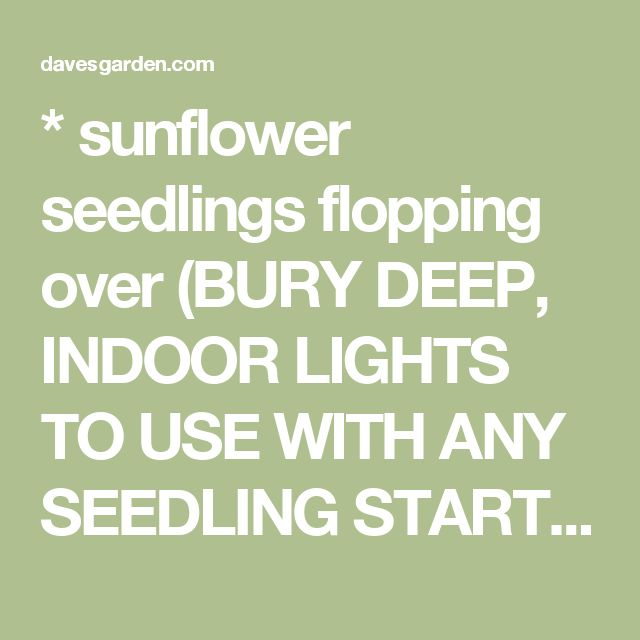 * sunflower seedlings flopping over (BURY DEEP, INDOOR LIGHTS TO USE WITH ANY SEEDLING STARTS, DAMPING OFF, ETC)