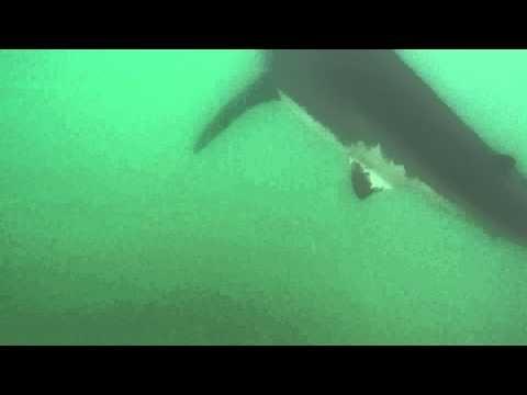 Un surfeur californien a poursuivi un grand requin blanc pour pouvoir le filmer. - Requin Blanc