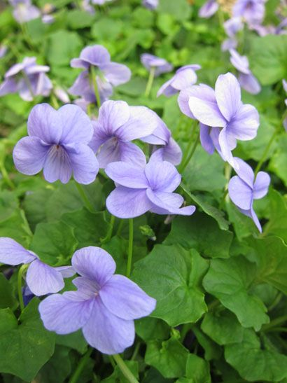 Native violet - use as ground cover instead of lawn under the jacaranda