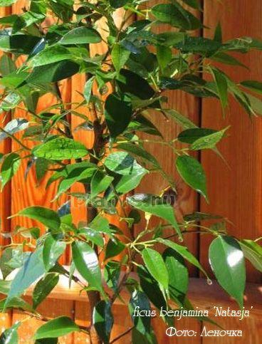 Фикус бенджамина сорт Наташа 'Natasja' Мелколистный, у листа длина (около 3 сантиметров) в 3-4 раза больше, чем ширина. Листья слегка согнуты лодочкой вдоль центральной жилки, кончик только слегка отогнут, край не волнистый. Растет медленно.