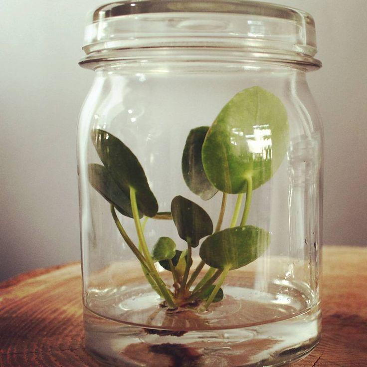 ❤#pannenkoekenplant #pileapeperomioides #pannenkoekplant #pileababy #pannenkoekenplantje #peperomioides #eigenkweek #plant #chinesemoneyplant #pilea #missionarisplant #vintagestyle #terugvanweggeweest #vintage