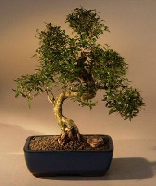 23 best bonzai trees you can buy on amazon images on pinterest rh pinterest com Kingsville Boxwood Bonsai Ficus Bonsai