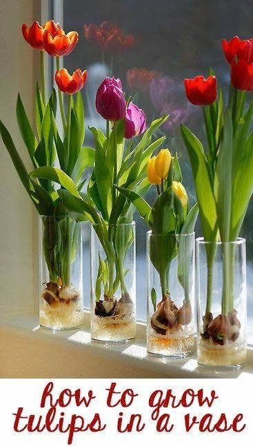 Grow tulips in a glass vase. Add marbles to fill 1/3 of the vase. Add bulbs pointed end up. Add more marbles to just cover bulbs. Add water right below bulb but not quite touching bulb. Enjoy the beauty! Credits to R & W Online Garage Sale