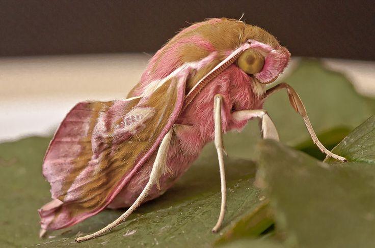 Small Elephant Moth