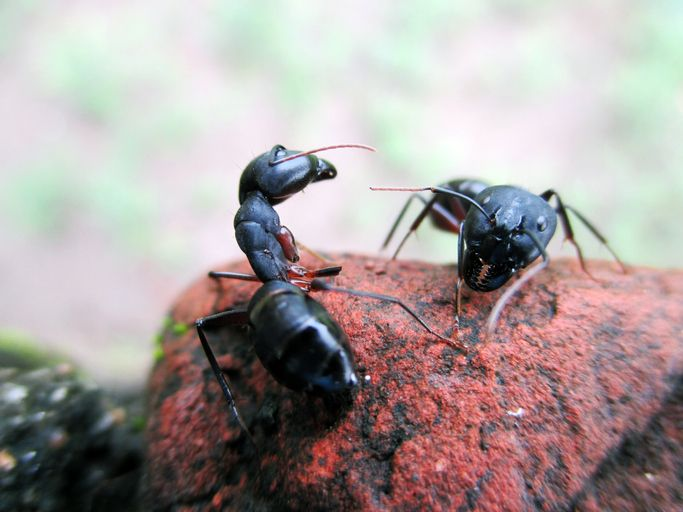 Carpenter Ants Like To Chew Carpenter Ants Get Their Name From The Fact That They Chew Through Wood To Make Nests However The In 2020 Carpenter Ant Ants Food Animals
