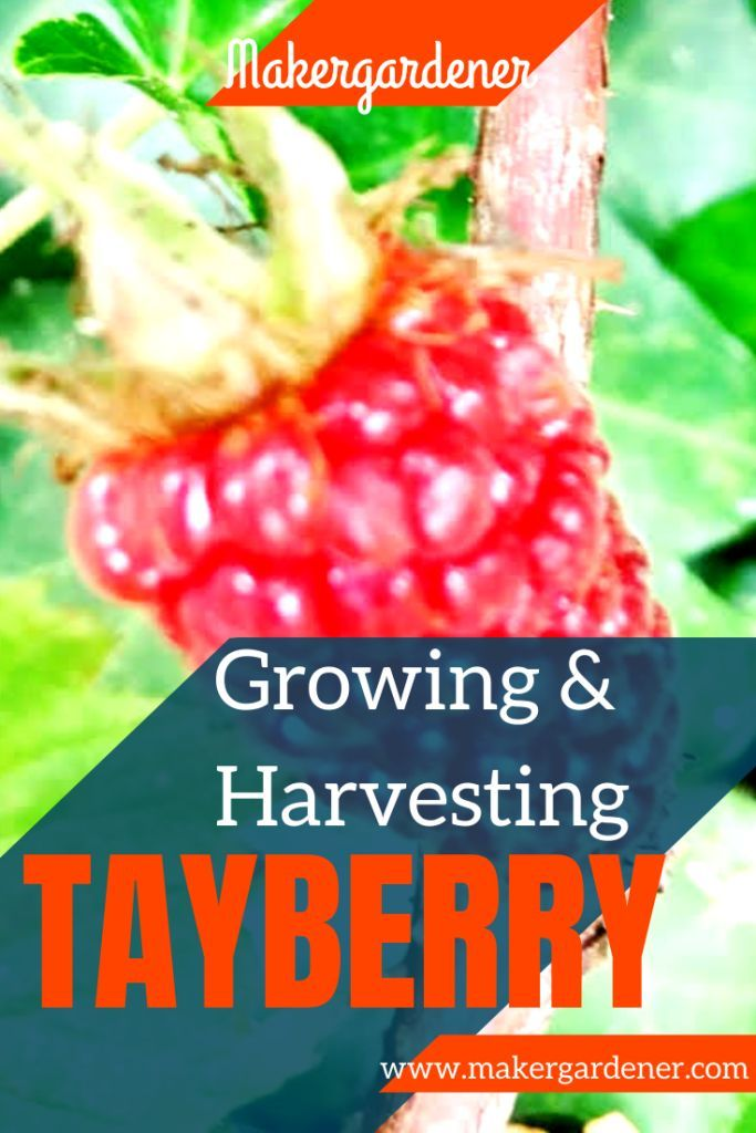 Tayberry Growing And Harvesting Growing Vegetables At Home