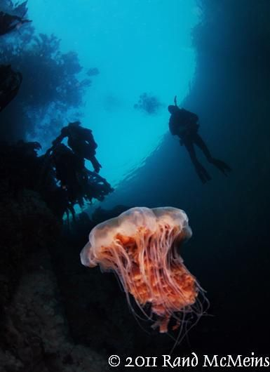 Lions mane sea jelly & diver
