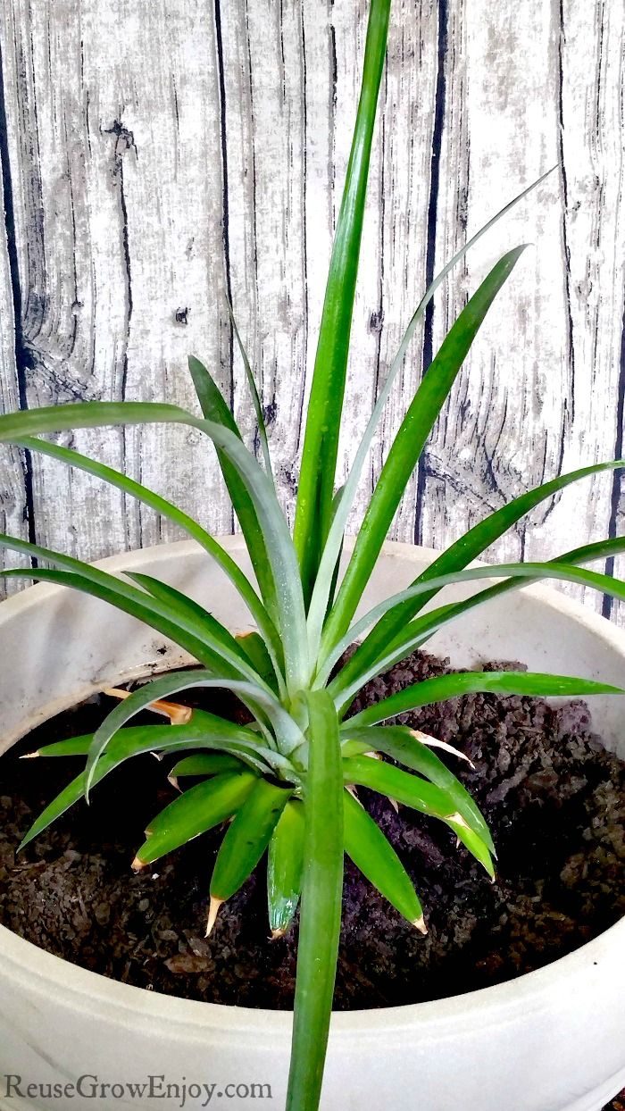 best 25 grow pineapple top ideas on pinterest where do pineapples grow pineapple growing and. Black Bedroom Furniture Sets. Home Design Ideas