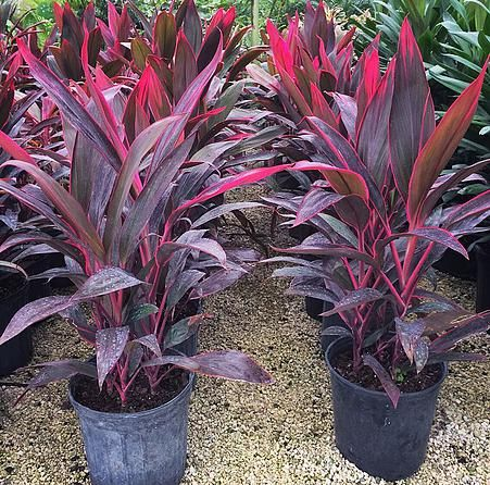 Red Sister Cordyline Fruticosa...my love gave me a couple of these. I'm planting one at home and keeping the other one in the pot at our weekend cottage.