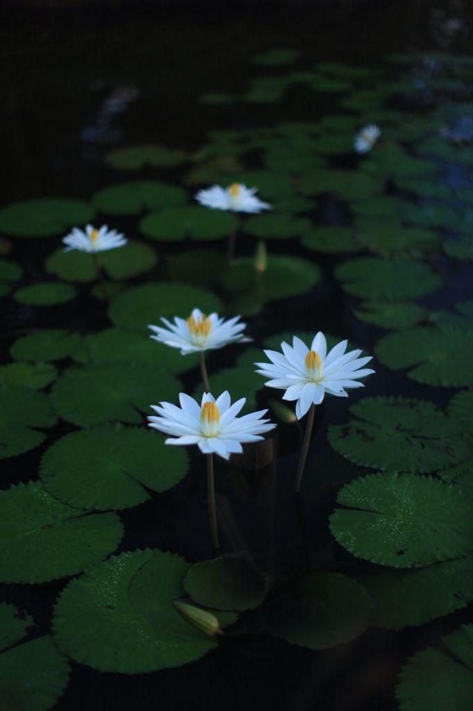 Bunga Teratai di Kebun Konda, Kendari, Sulawesi Tenggara
