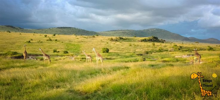 #Жирафы на #закате перед грозой в #Кении, #Национальный #парк #МасаиМара http://travelkenya.ru