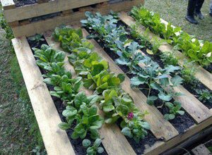 Pallet Gardening: Pallets can be recycled and used in a whole new way. Simply find a place to put a pallet and fill it with potting soil. Use the wood openings to plant in. You can grow your salad greens in a small amount of space, and it is a good way to recycle old pallets.