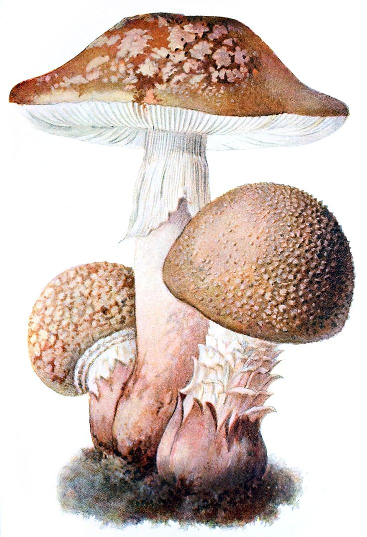Blusher (Amanita rubescens)  Albin Schmalfuss, from Führer für Pilzfreunde (The mushroom lover's guidebook) vol. 1, by Edmund Michael, Zwickau, 1901.  (Source: archive.org)