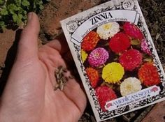 growing zinnias from seeds