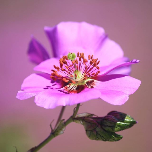 Bienvenida primavera!!!! ------- #asipiensaunamama #flores #sinfiltro #naturephotography #canonphotography #naturaleza #flowerstagram #springawakening #primavera #flowers #atacamadesert #blossom #instaflower #fleur #printemps #macro #petals #floral #nature #natureloversgallery #flowerslovers #primavera #chilegram #instachile #igerschile #igersnature