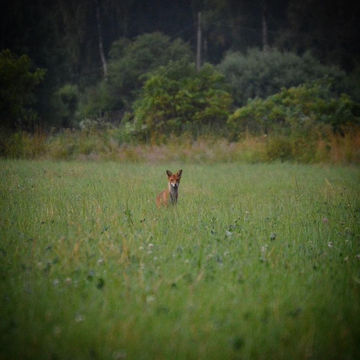 Soon time for some predator hunting also. Fox puppies are allowed now but the 1st off August all foxes are allowed to hunt. #jakt #jagd #hunt #redfox #fox #rävjakt #predator #predatorhunting #foxhunting http://misstagram.com/ipost/1569474664871179605/?code=BXH5ORrnzVV