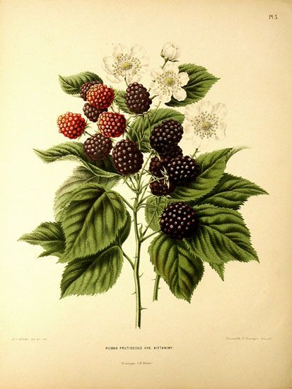 Rosaceae -Rubus fruticosus  Lithograpy in Belgium by G. Severyns. Publication started in 1875 on the initiative of the Pomological Society at Boskoop. (via Rosaceae - Rubus fruticosus Kittaninny.)