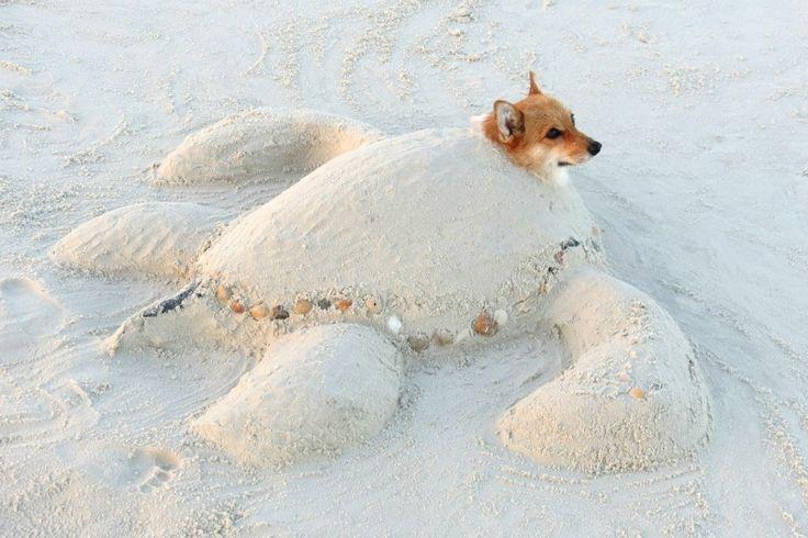 Save Penny the Sea #Corgi Turtle!