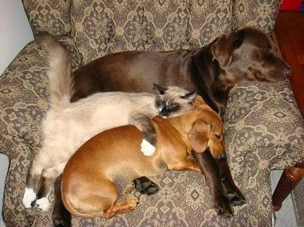 .Best Friends, Chairs, Dogs Cat, Pets, Naps Time, Siamese Cat, Chocolates Labs, Families, Animal