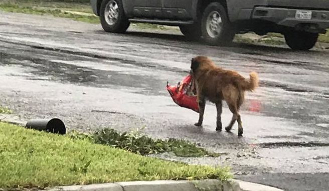 After Hurricane Harvey slammed into Texas as a Category 4 storm, there have been reports of catastrophic damage, deadly flooding and incredible tales of survival.  Some animals were the first to be evacuated by their owners.  Slowly, heartbreaking footage of these animals emerged on social media in an