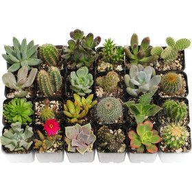 20 Piece Unique Cacti and Succulents Plant in Pot Set