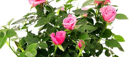 Minirůže můžete pěstovatjako okouzlující pokojové květiny - Pokojové rostliny