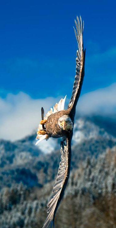 Bald Eagle in flight! Fantastic shot!