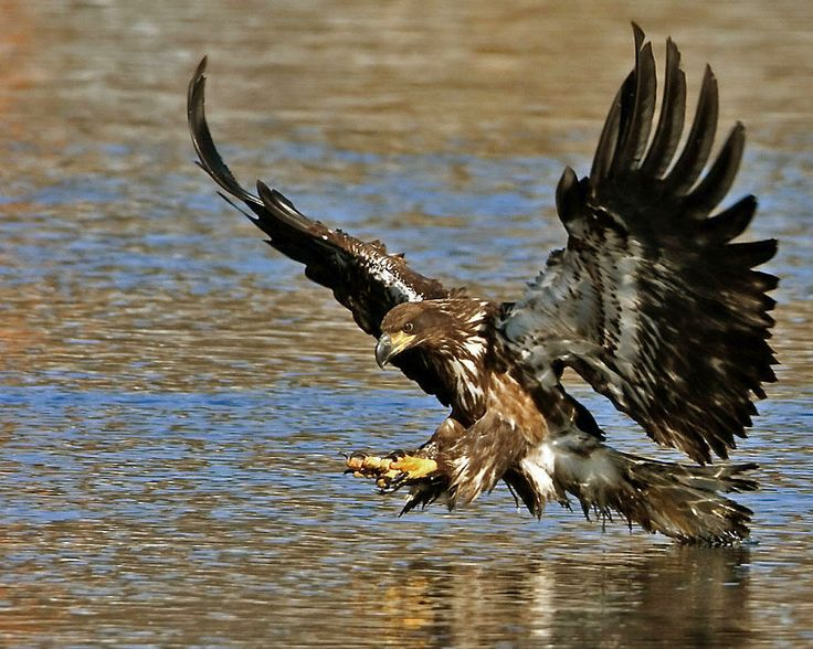 110 best WebPixell.com - Eagles images on Pinterest | Beautiful ...