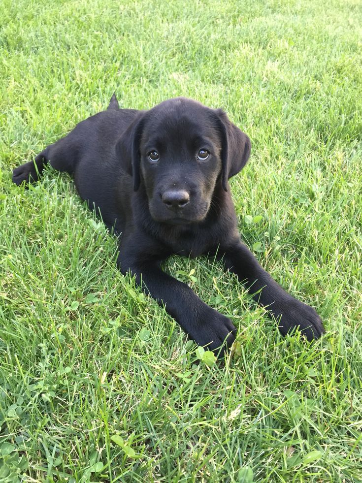 8 Week Old Black Lab Puppy
