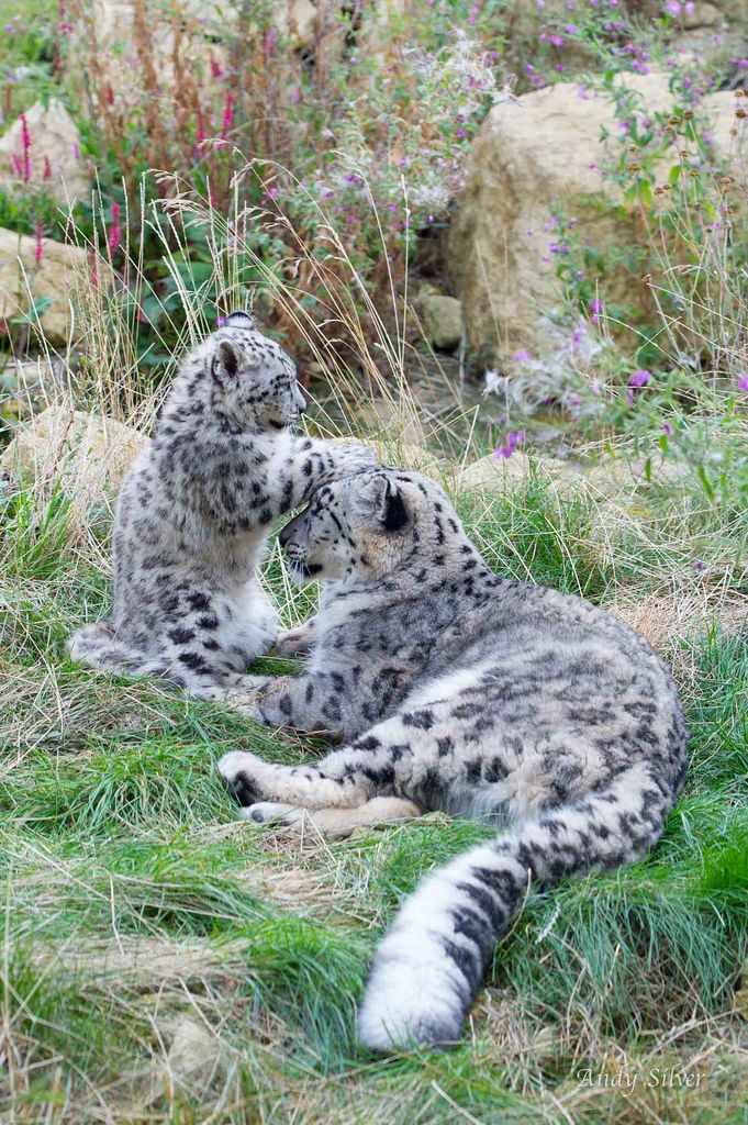 Clouded Snow Leopard Cub Patting His Mama's Head.