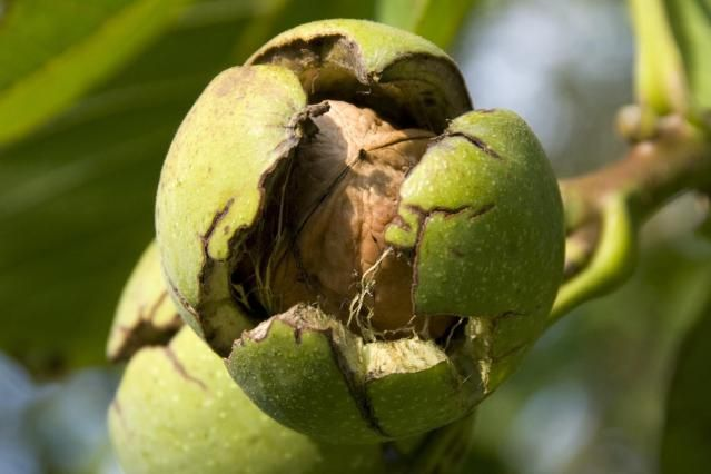 Black walnuts (Juglans nigra L.)are valuable landscape and lumber trees, but black walnut trees are not always good companions for other plants. They produce a chemical called
