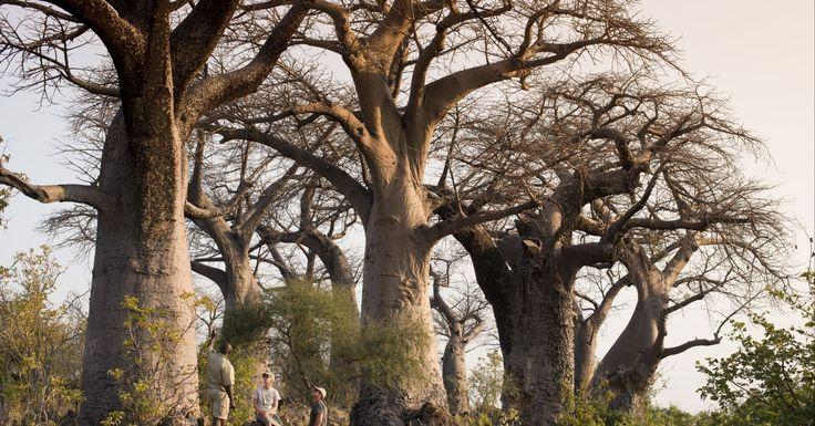 BOTSWANA INDOMÁVEL: Explore a natureza selvagem e encante-se com o pôr do sol do Delta de Okavango. Conheça Botswana em duas partes: Delta do Okavango e Parque Nacional de Chobe. Uma experiência única onde o reino animal será o quintal de sua casa. Prepare-se para se deslumbrar!