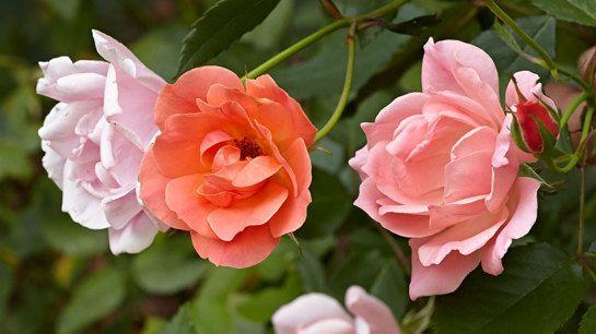 Simple Rose Garden: How To Save Tender Bulbs For Next Season