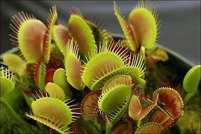 10 Dionaea Muscipula Venus Flytrap Seeds Name: Venus Fly Trap Scientific Name: Dionaea muscipula Full-bloom Period: Summer Type: Carnivorous Plant Variety: Cactus Climate: Subtropics Item Type: Seeds