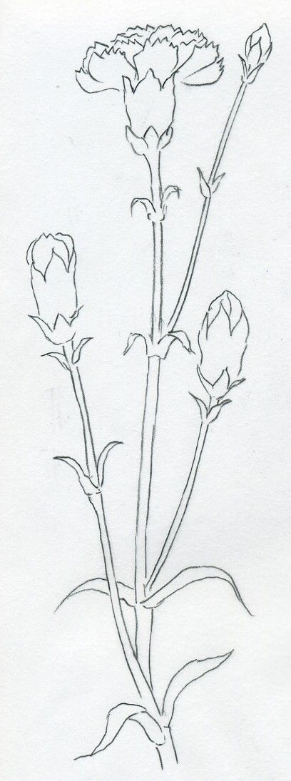o draw Carnation can be a very easy job. Carnation is one of the simplest flowers to draw.   I made a couple of simple steps that you can ...